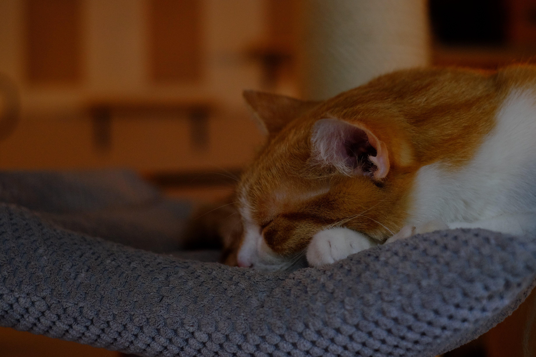 Free stock photo of animal, blur, fur, cat