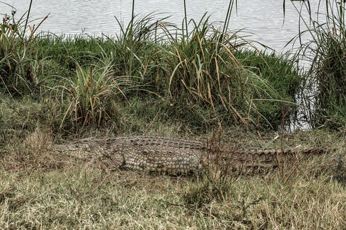 Brown Crocodile on Green Grass Near Body of Water