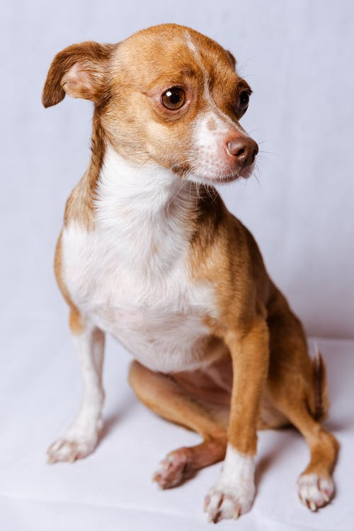 Brown and White Short Coated Small Dog