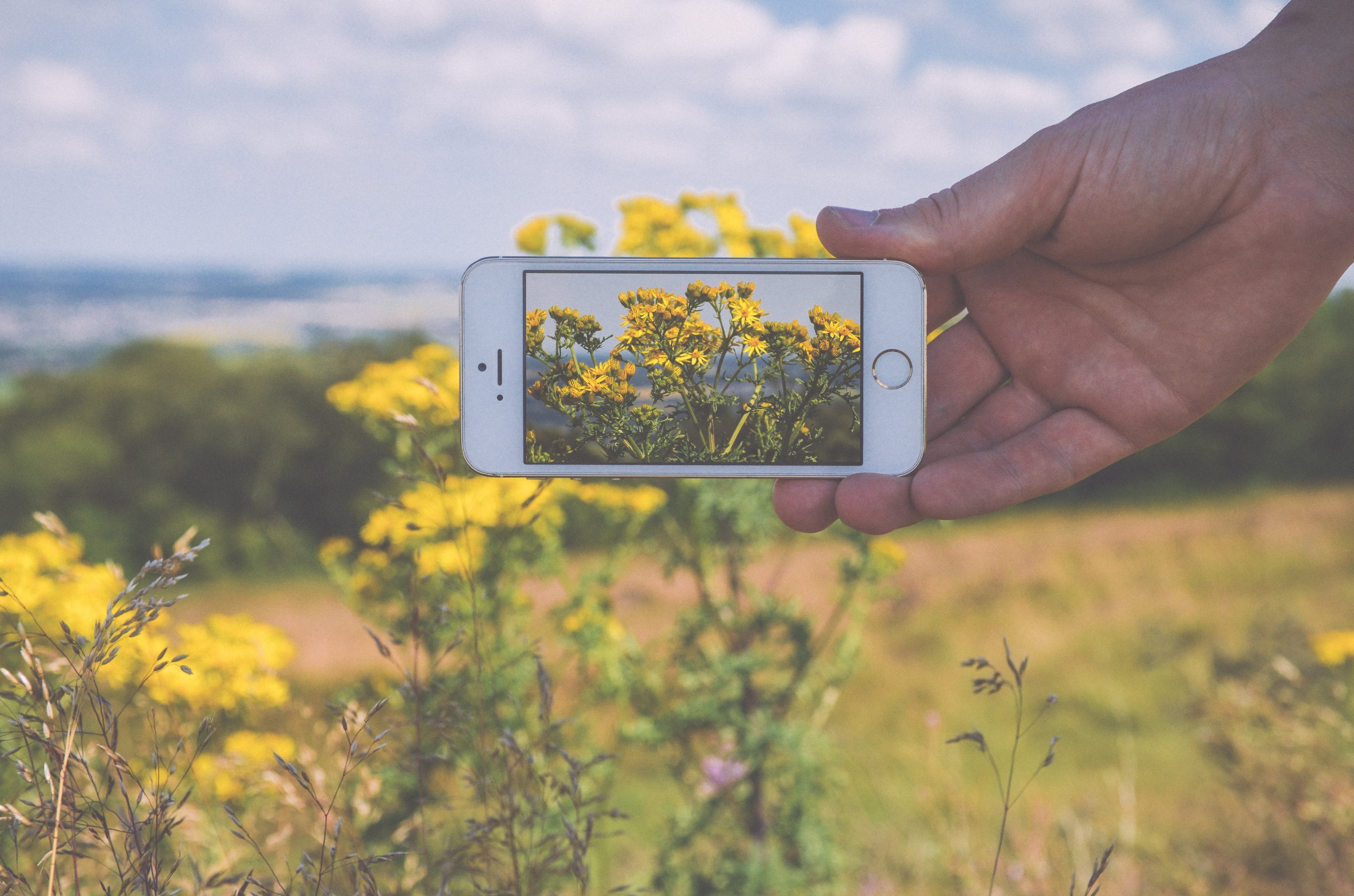 Person Taking Photo of Yellow Petaled Flowers Using Iphone 5s