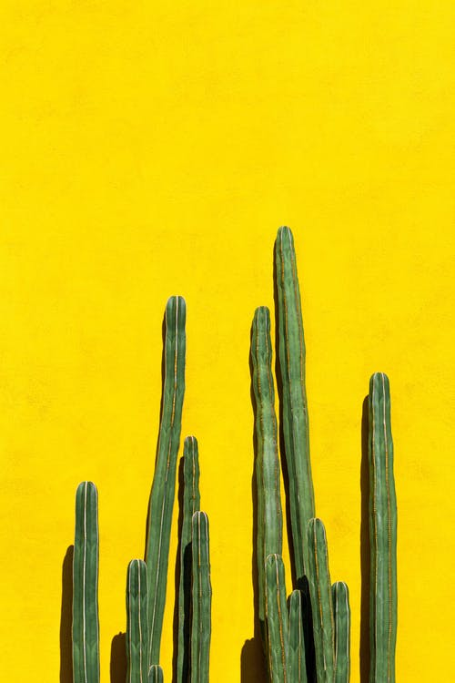 Long green cactuses with prickly thorns growing on bright yellow background in sunlight in daytime in street in summer outside