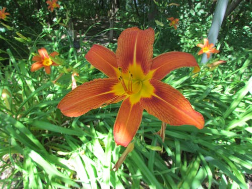 Free stock photo of beautiful flowers, Day Lily