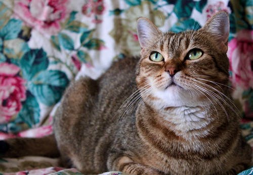 Selective Focus Photo of a Cute Brown Tabby Cat