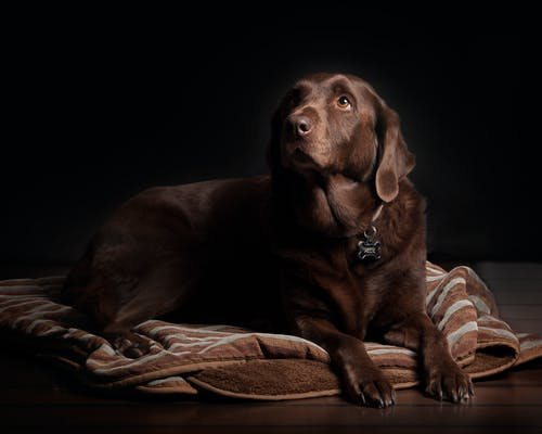 Adult Chocolate Labrador Retriever Lying on Brown and White Striped Textile