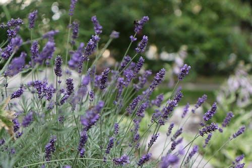 Foto profissional grátis de borrão, ecológico, flores, lilás