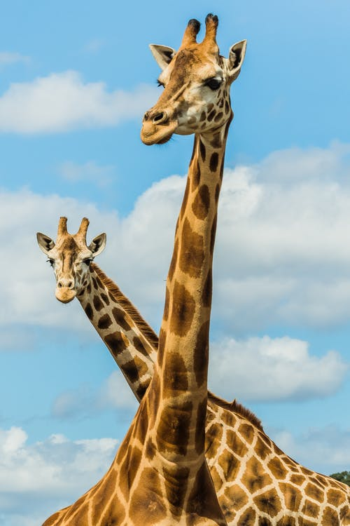 Couple of giraffes in savanna