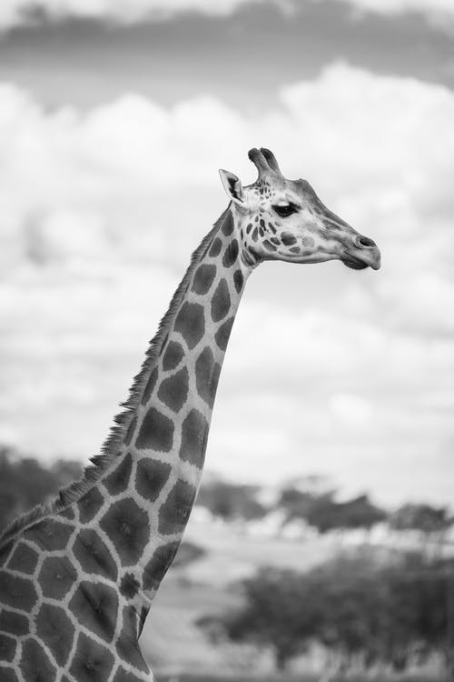 Giraffe standing in savanna at daytime
