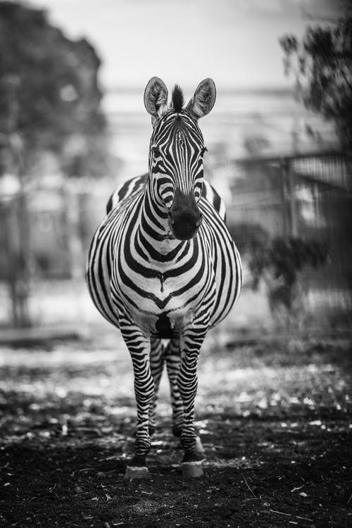 Black and white of striped zebra standing in paddock on blurred savanna background