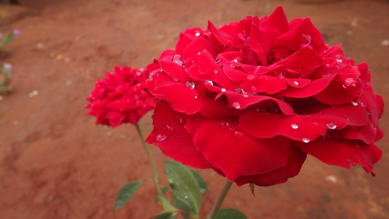 Free stock photo of rose after rain