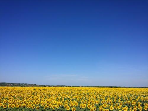 Immagine gratuita di azienda agricola, bocciolo, campo, cielo