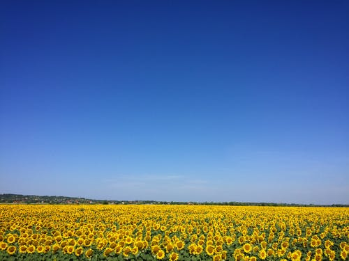 Sonnenblumengarten Unter Blauem Himmel