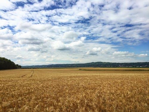 Бесплатное стоковое фото с голубое небо, зерновые, кукуруза, лето