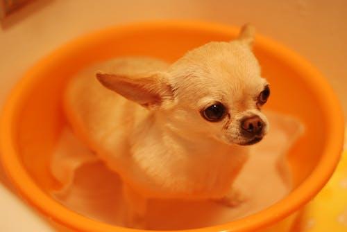 吉娃娃, 狗 的 免费素材图片