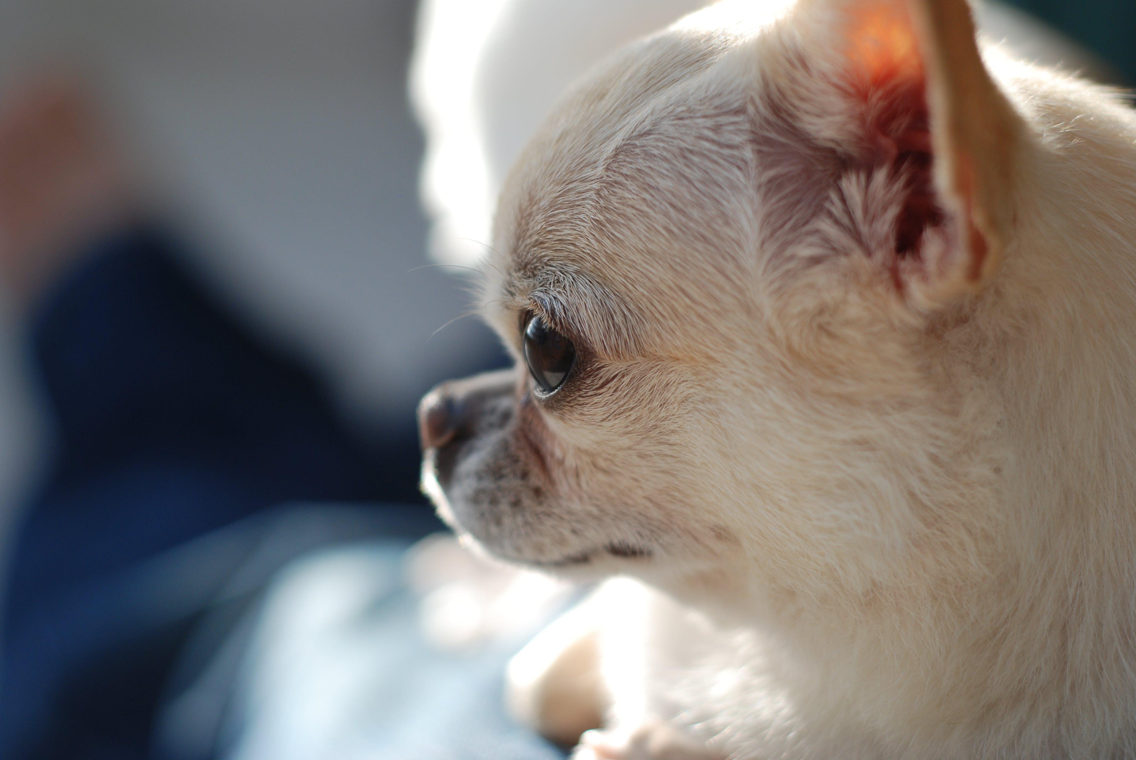 Gratis lagerfoto af chihuahua, hund, hundehoved