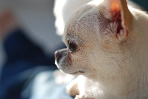 吉娃娃, 狗, 狗頭 的 免费素材图片