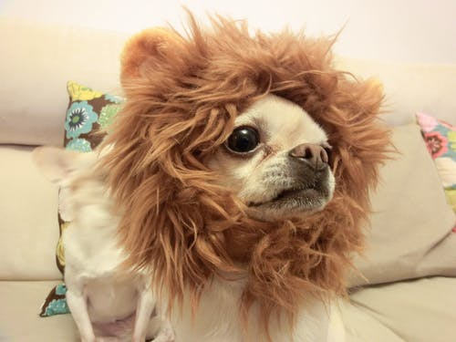 Free stock photo of chihuahua, dog, dog head, lion