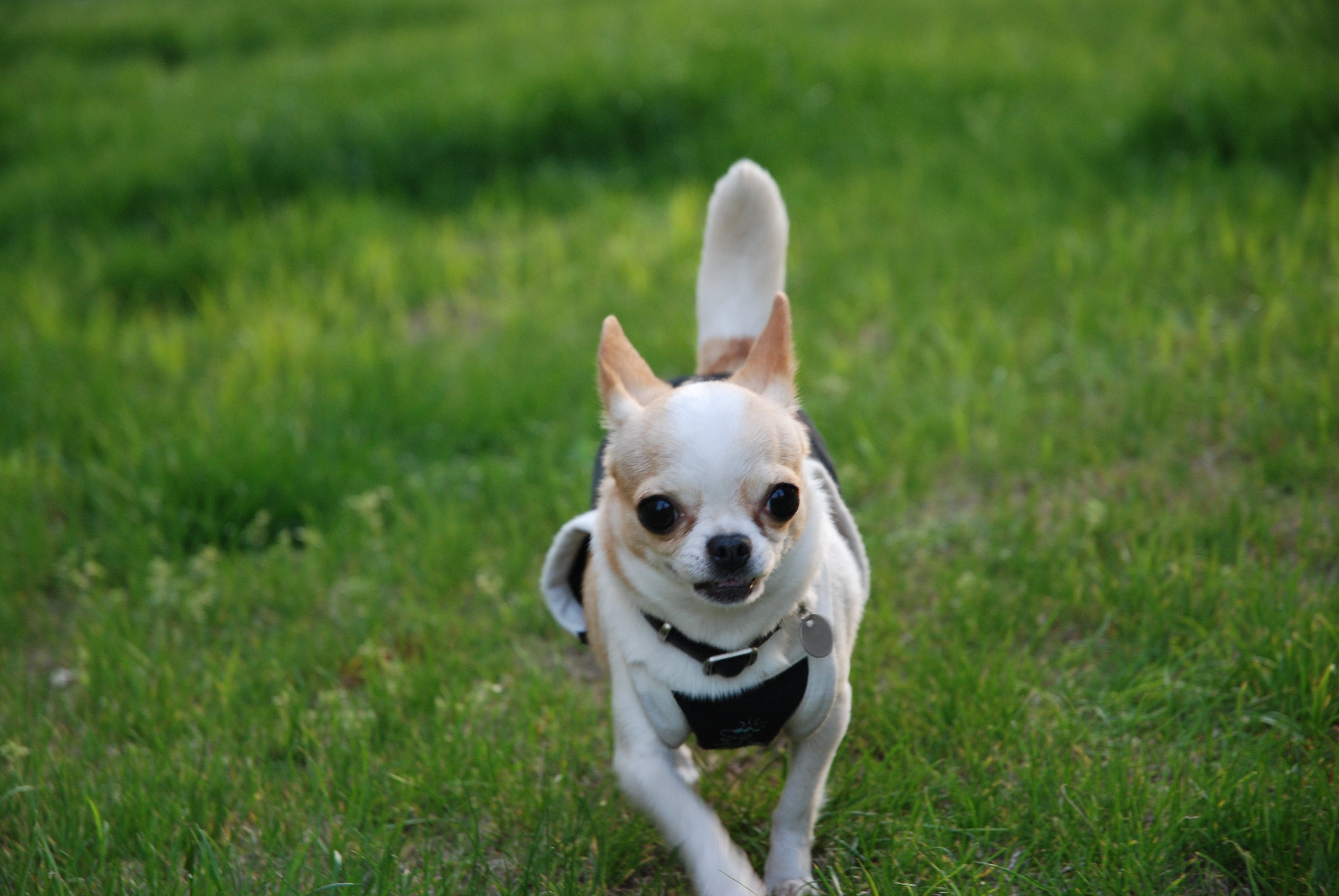Gratis lagerfoto af chihuahua, hund