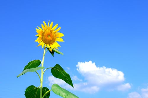 Sunflower Blooming during Daytime