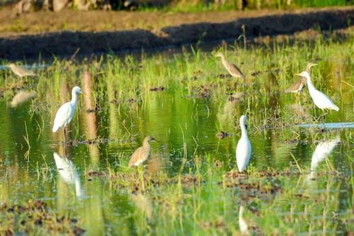 Kostnadsfri bild av cattle egret