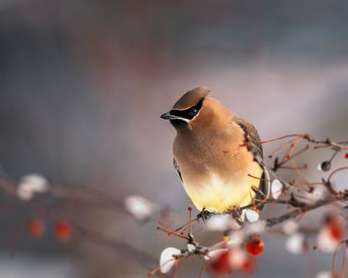 Cute waxwing bird sitting on snowy ashberry tree branch