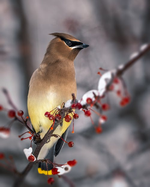 Full length adorable curious waxwing bird sitting on frozen rowanberry tree branch in winter garden