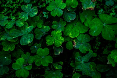 Close-up photo of green clover plants