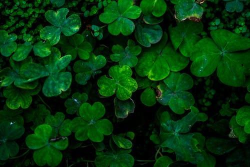 Darmowe zdjęcie z galerii z koniczyna, kwitnięcie, liście, ogród