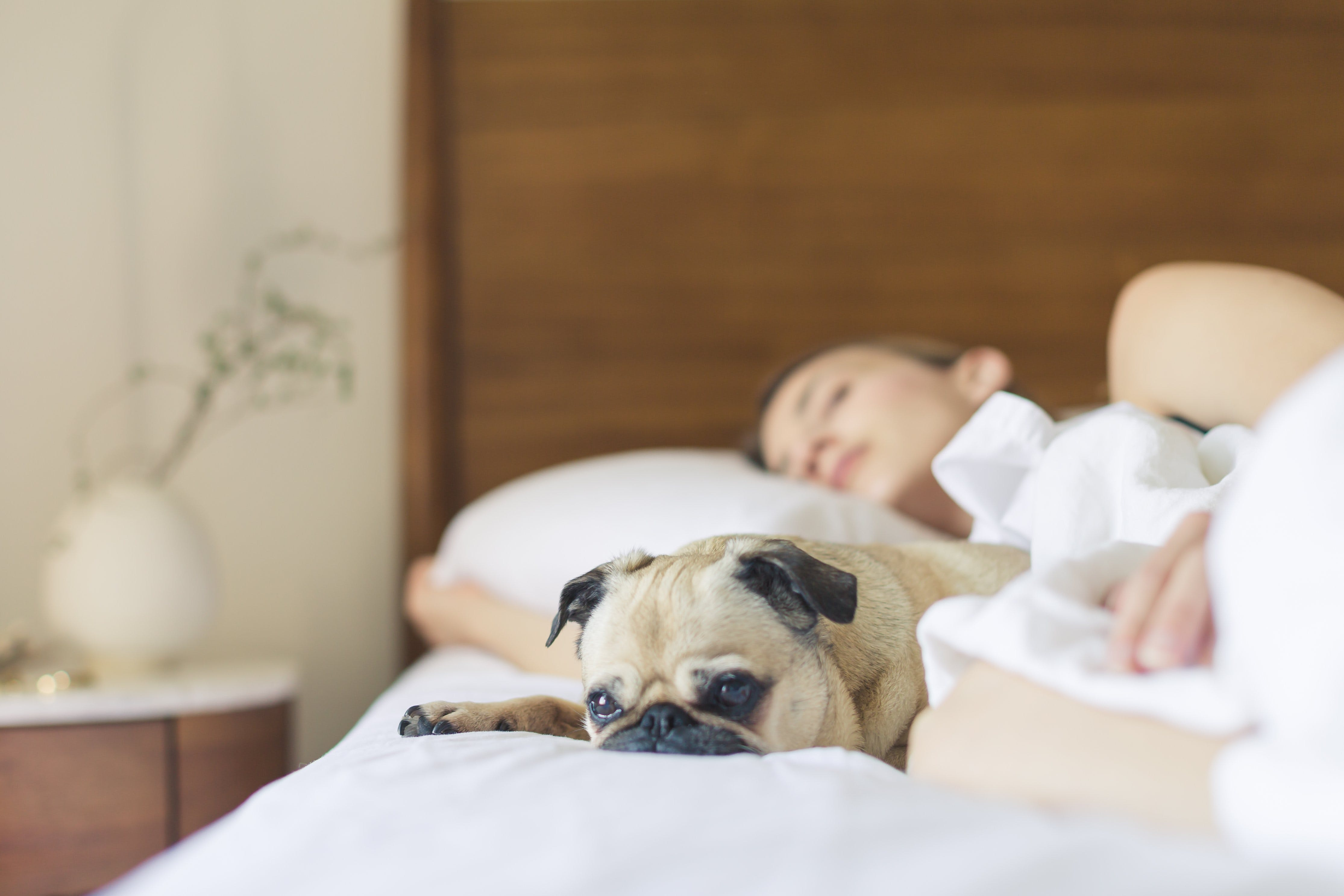 Pug Sleeping Beside Woman on Bed