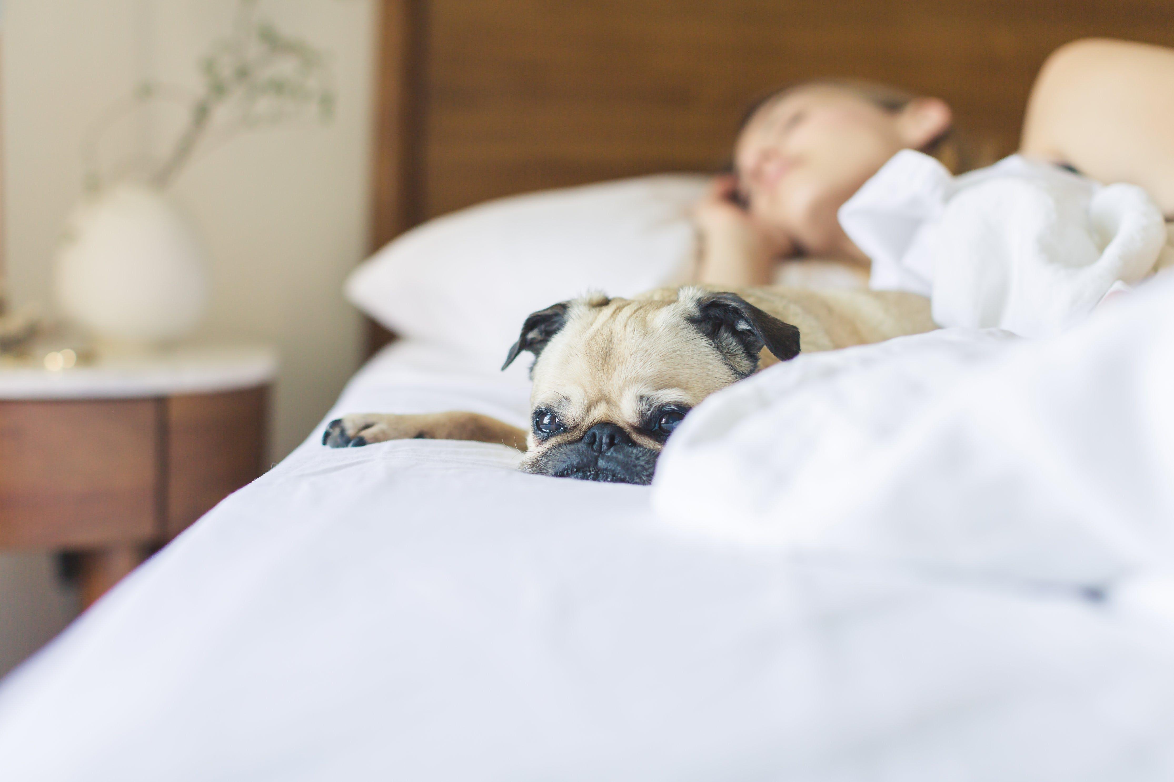 Fawn Pug Lying on Bed Beside Sleeping Woman