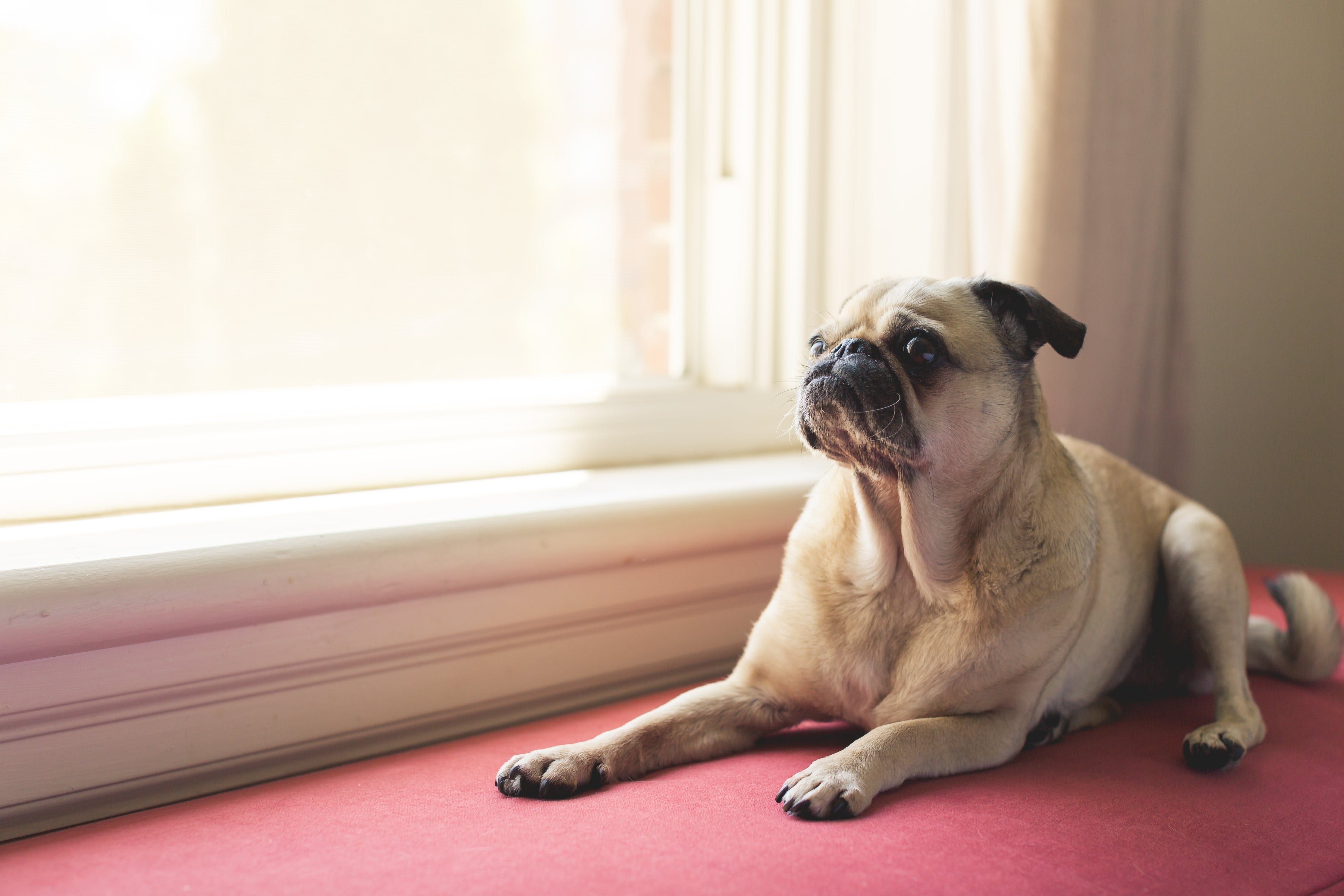 Adult Fawn Pug Near White Wooden Framed Window