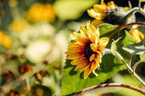 Yellow sunflower blooming in garden