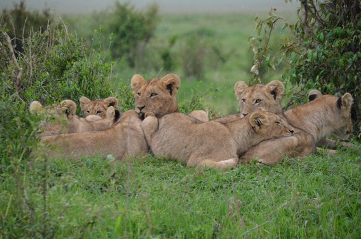 Tan Lionesses on Green Field during Daytime