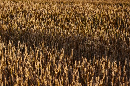 Fotos de stock gratuitas de paisaje, ruy, susnset, trigo