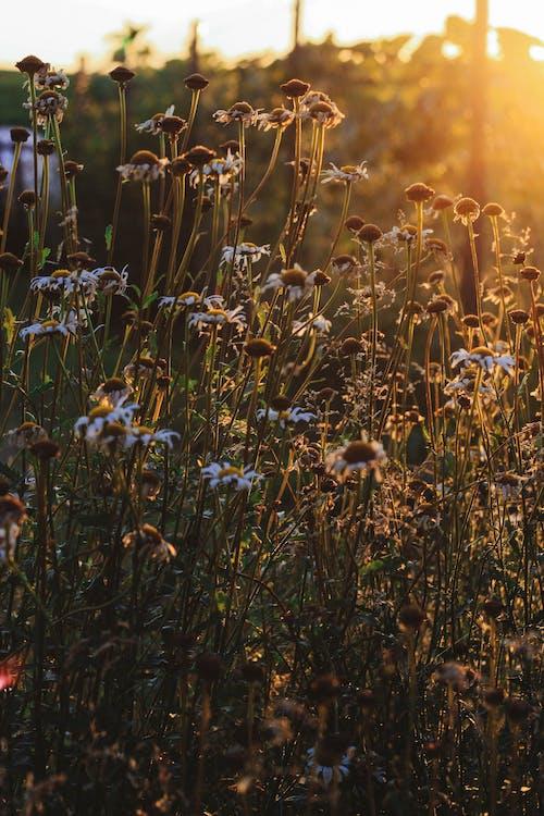 Fotos de stock gratuitas de charmomiles, hermoso, naranja, puesta de sol