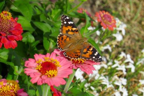 Kostnadsfri bild av monarkfjäril