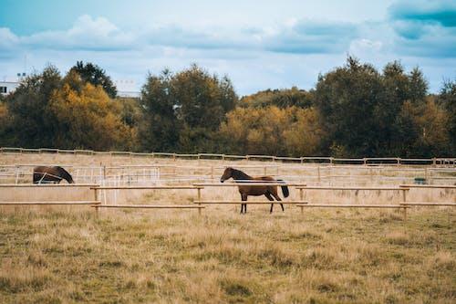 Brown Horses in Paddock