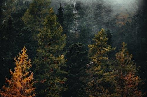 Бесплатное стоковое фото с HD-обои, вечнозеленый, дерево