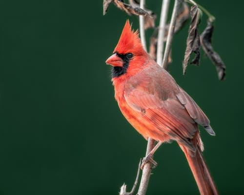 Attentive wild red common cardinal bird sitting on thin leafless tree branch on blurred nature background