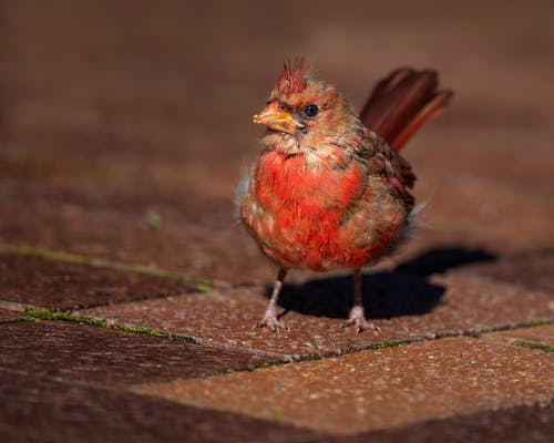 Common cardinal standing on paved ground
