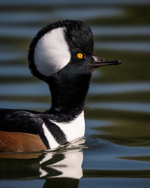 Cute black and white hooded merganser bird with fan shaped crest on head swimming on tranquil lake surface