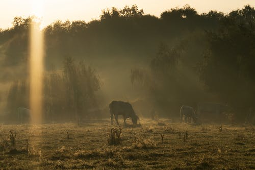 Free stock photo of cows, early morning, field
