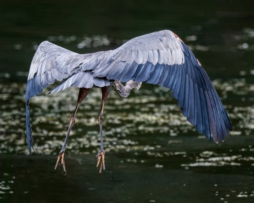 Full length great blue heron flying above calm rippling lake surface in sunny nature