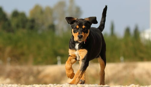 Black and Tan Short Coat Medium Dog Running on Field