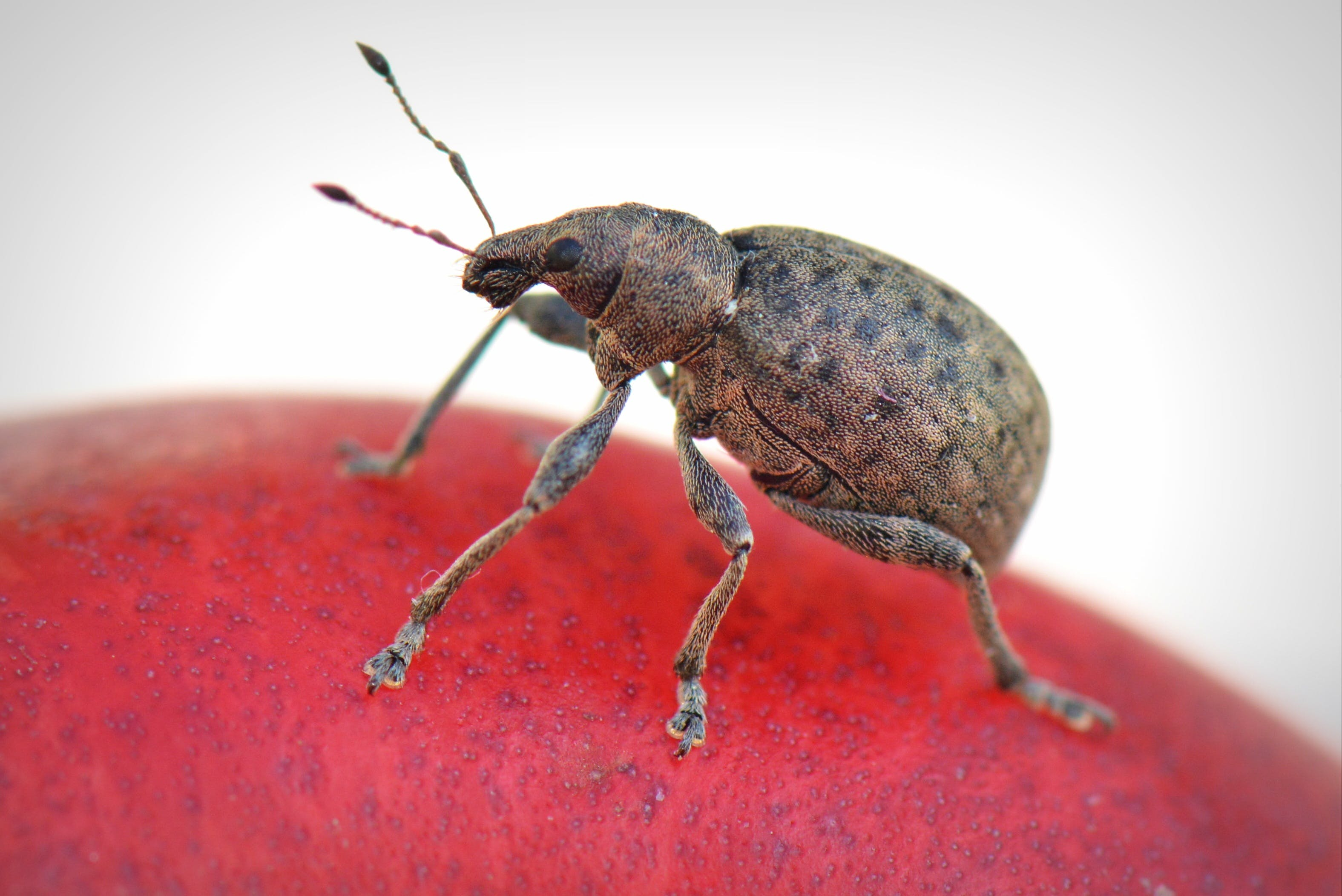 Brown Weevil on Red Surface Close-up Photography