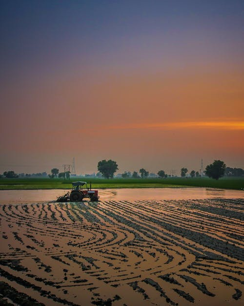 Agrimotor moving through rice field during harvest season in agricultural farm at sundown
