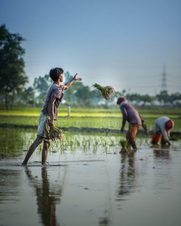 Pria Etnis Menanam Tanaman Hijau Yang Tumbuh Di Ladang Banjir
