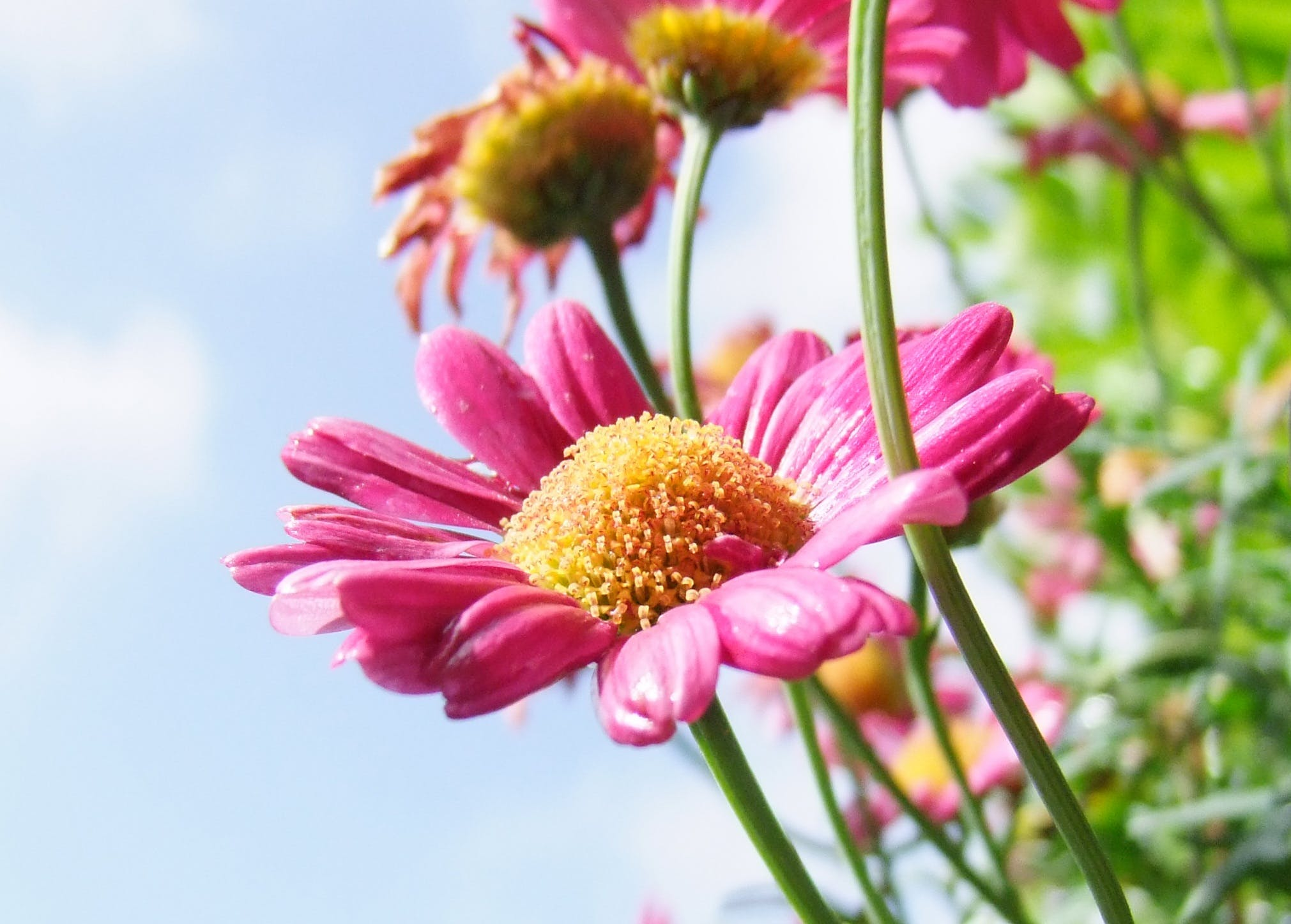 Pink Long and Layered Petaled Flower during Daytime