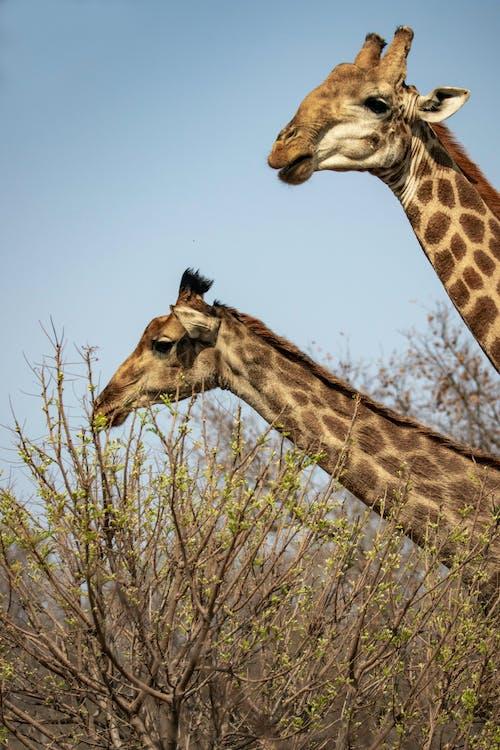 Fotos de stock gratuitas de al aire libre, animal, bárbaro, cabeza