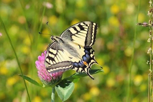 Δωρεάν στοκ φωτογραφιών με macro, papilio, swallowtail, άγρια φύση