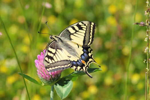 Black White and Blue Butterfly on Pink Flower